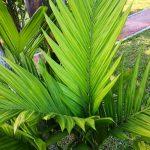 La Areca triandra tiene las hojas pinnadas