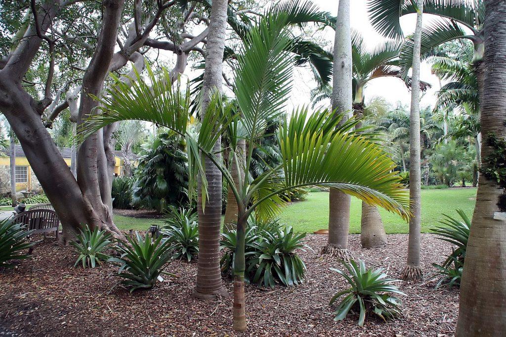 La Hyophorbe indica es una palmera tropical