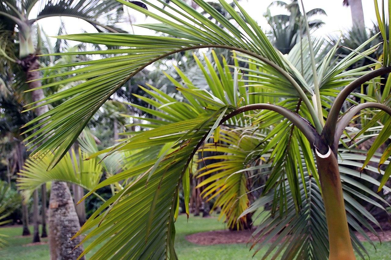 Las palmeras del género Hyophorbe son tropicales
