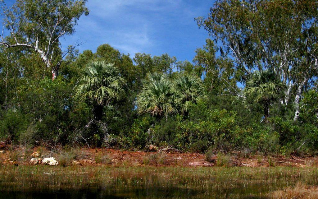 La Livistona alfredii es una palmera australiana