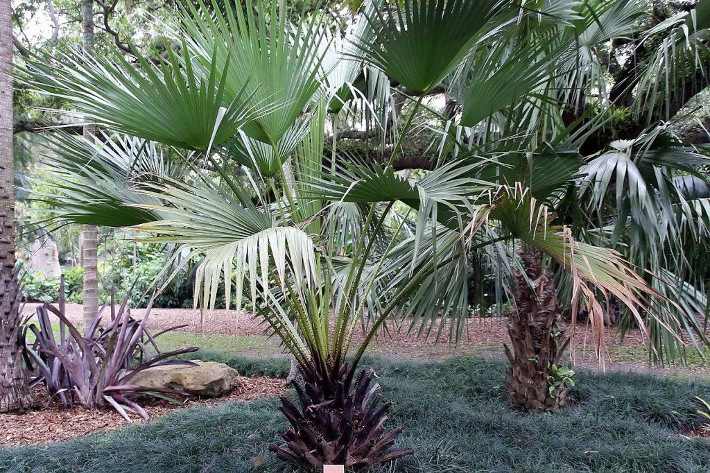 Vista de la Livistona carinensis
