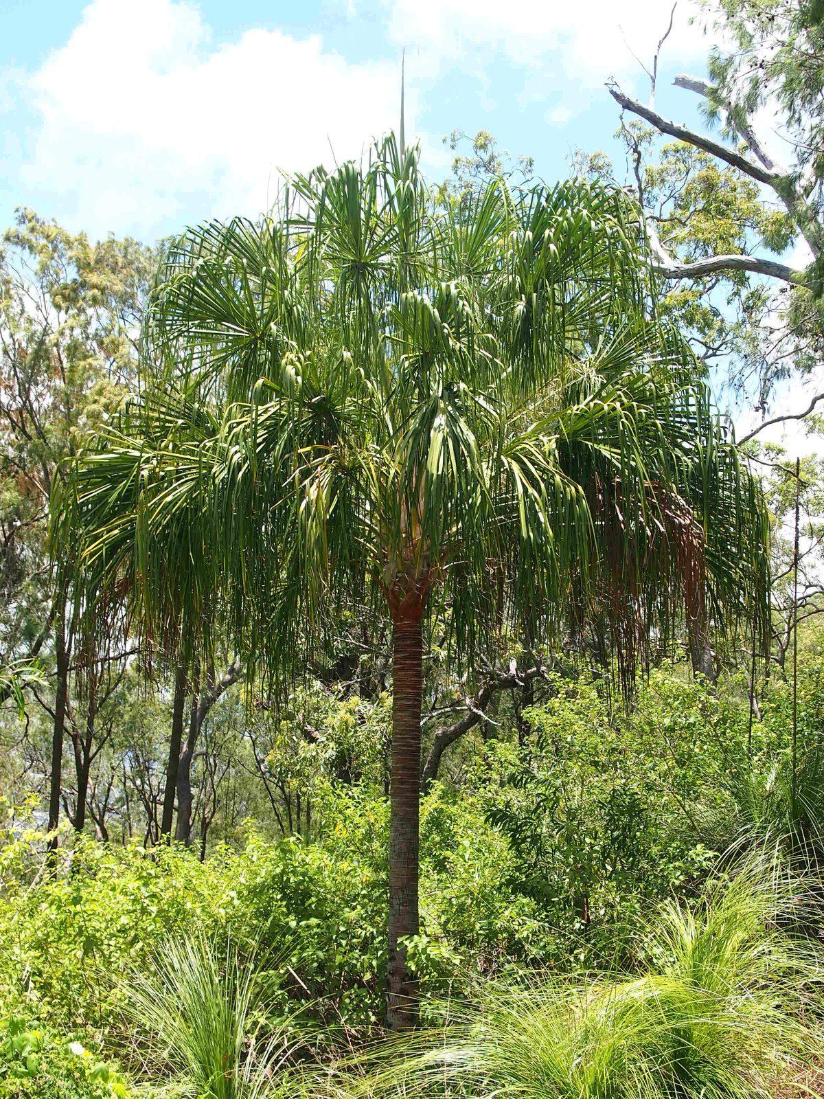 La Livistona decora es una palmera muy alta