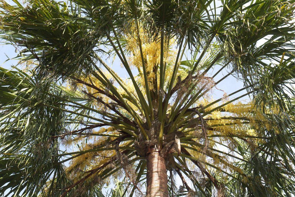 La Livistona es una palmera con hojas en forma de abanico