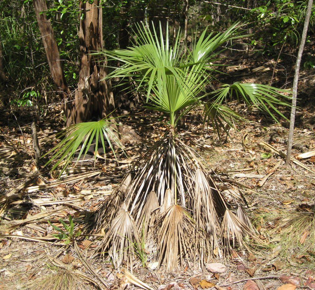 La Livistona humilis es una palmera pequeña