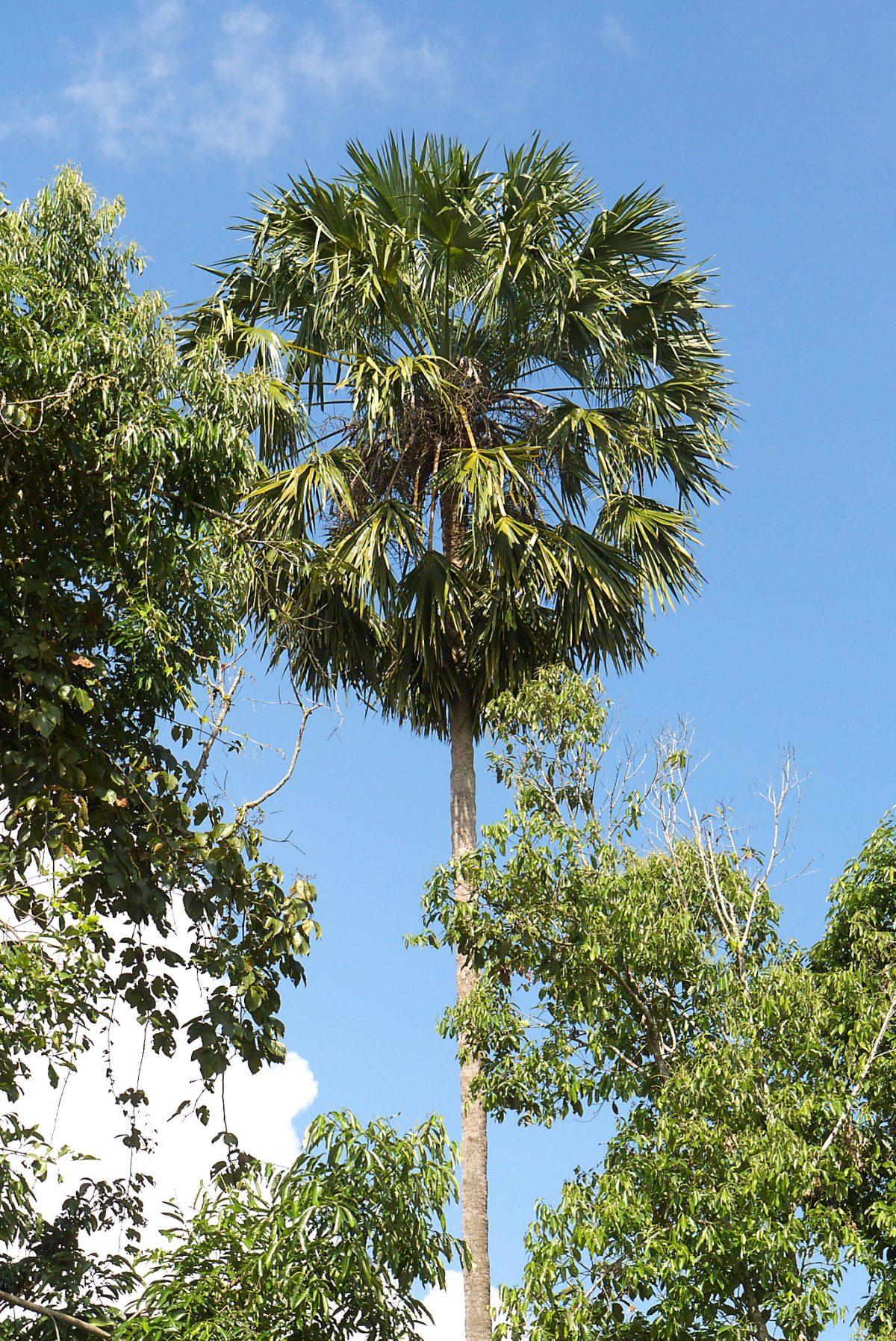 La Livistona speciosa es una palmera alta