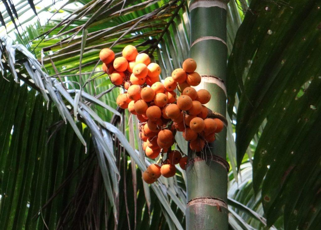 La palmera areca es una planta tropical