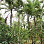 La Areca catechu es la especie del género más común