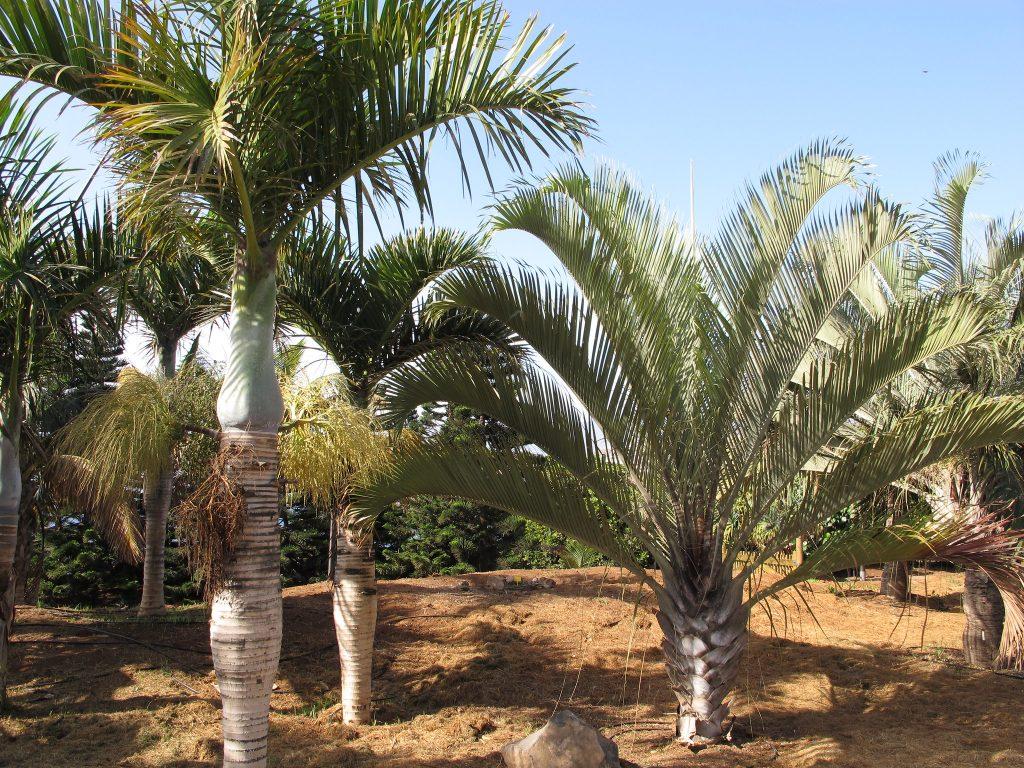 Las Hyophorbe son palmeras de tronco único