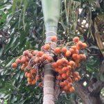 El tronco de la Areca catechu es esbelto