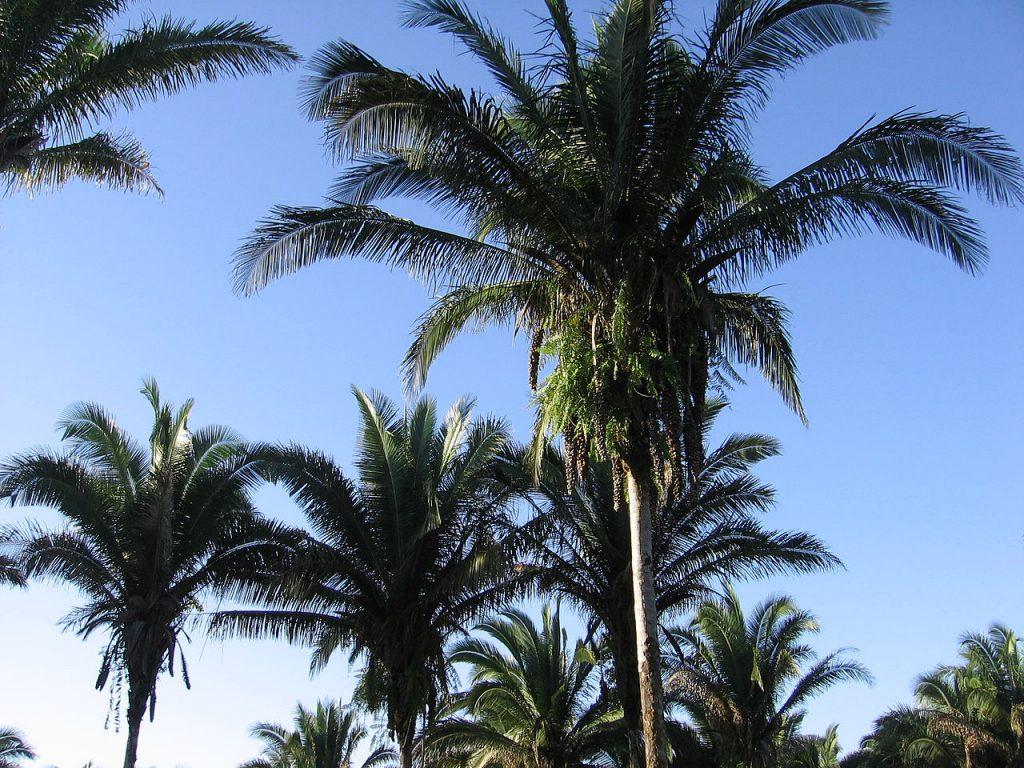 La Attalea speciosa es una palmera tropical
