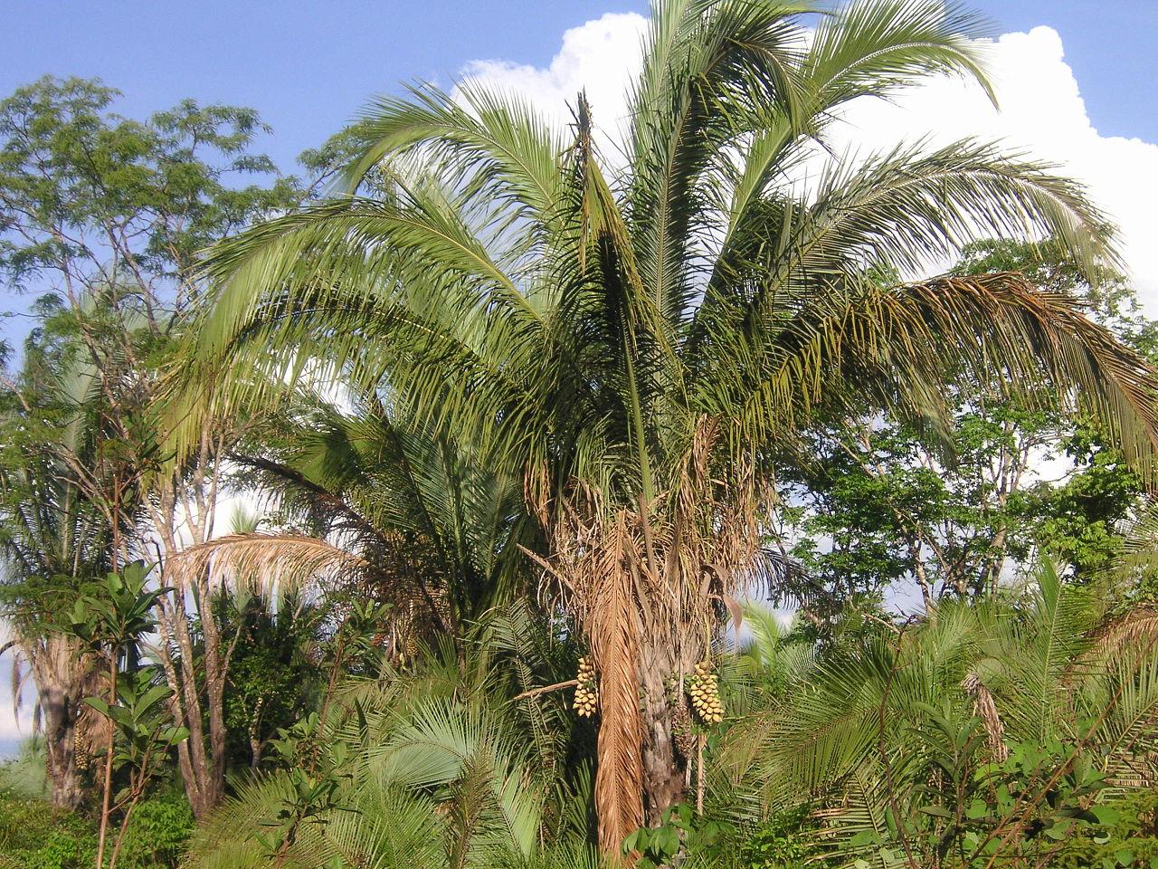 La Attalea speciosa es una palmera grande
