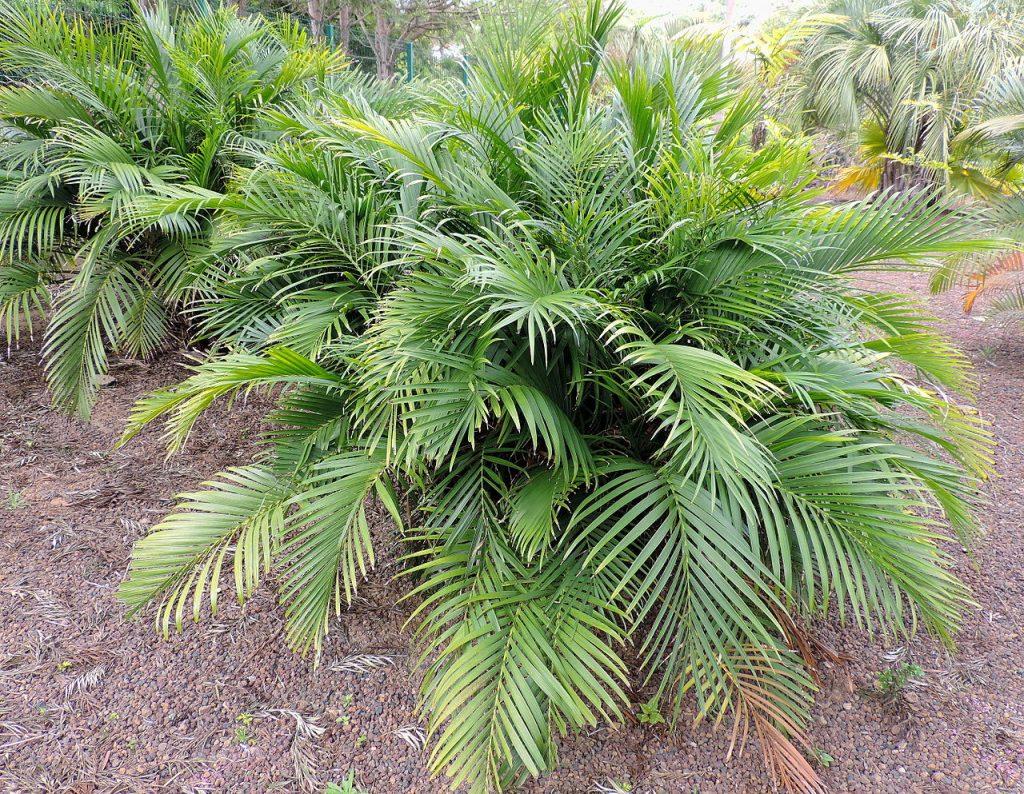 La Chamaedorea cataractarum es multicaule