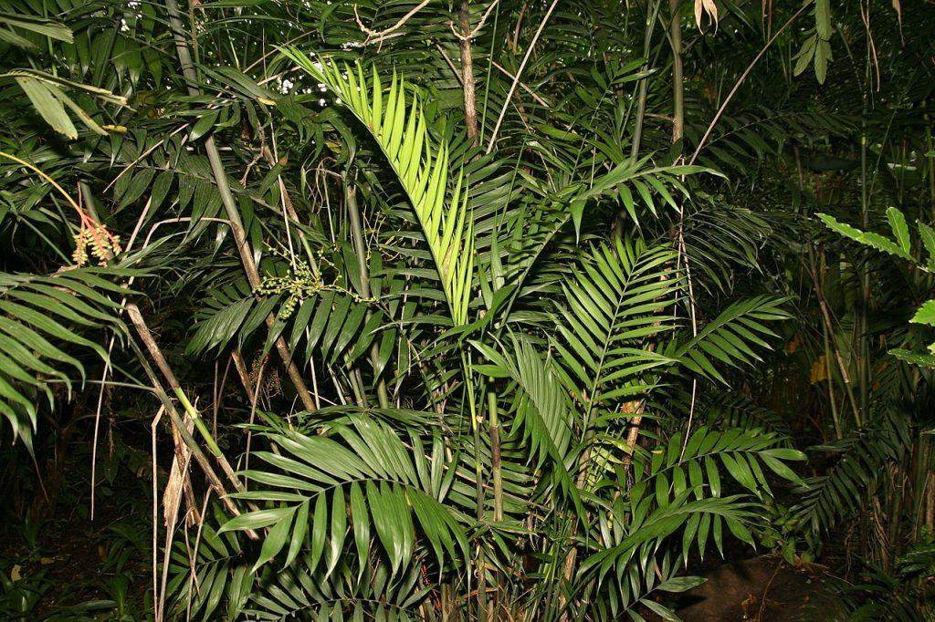 La Chamaedorea costaricana tiene varios troncos