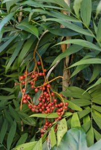Los frutos de la Chamaedorea microspadix son rojos