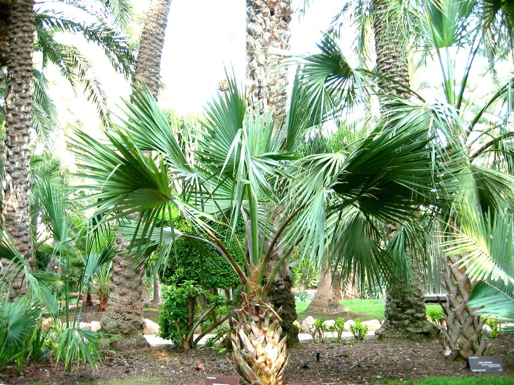 El Sabal bermudana es una palmera de lento crecimiento