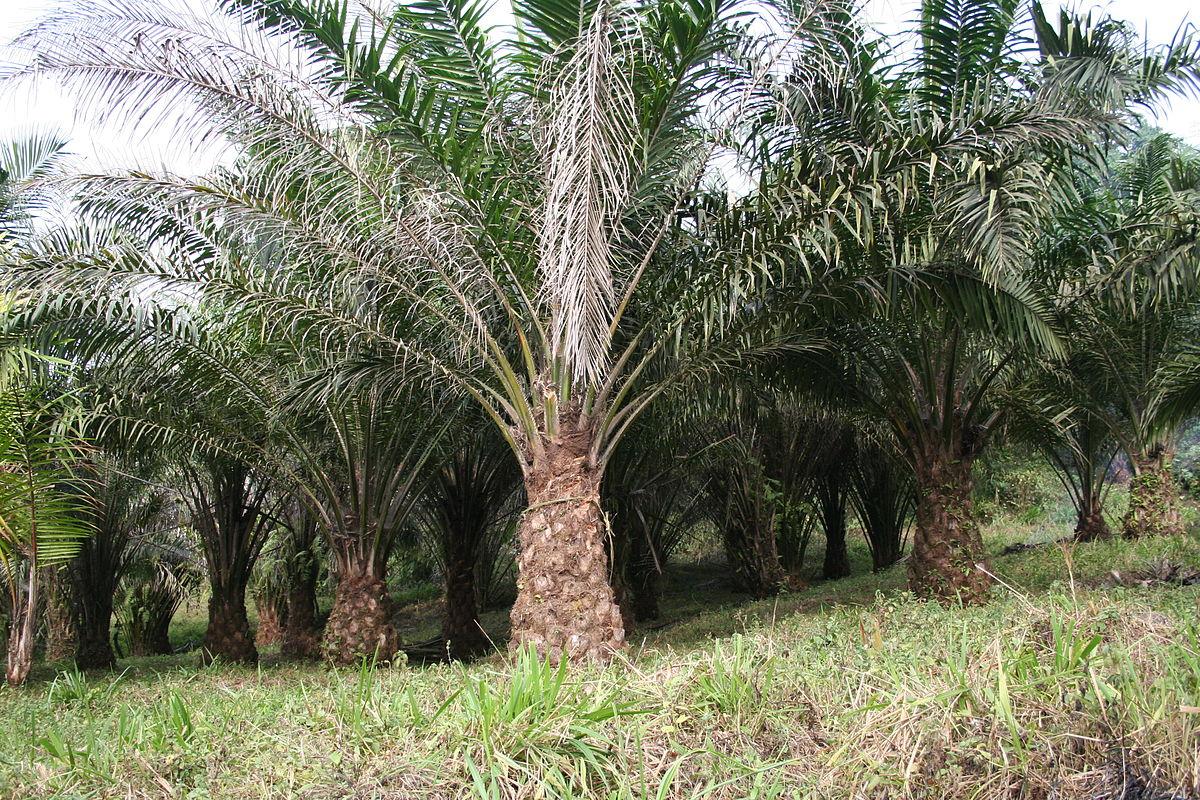 La Elaeis guineensis es una palmera tropical