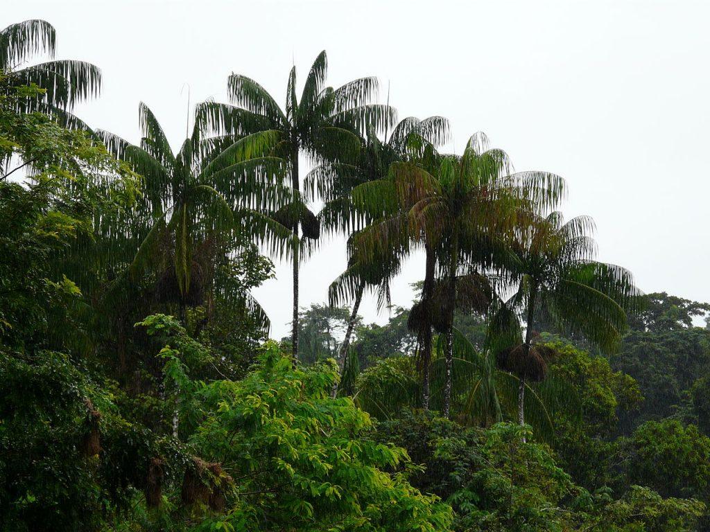 La Euterpe oleracea es una palmera multicaule