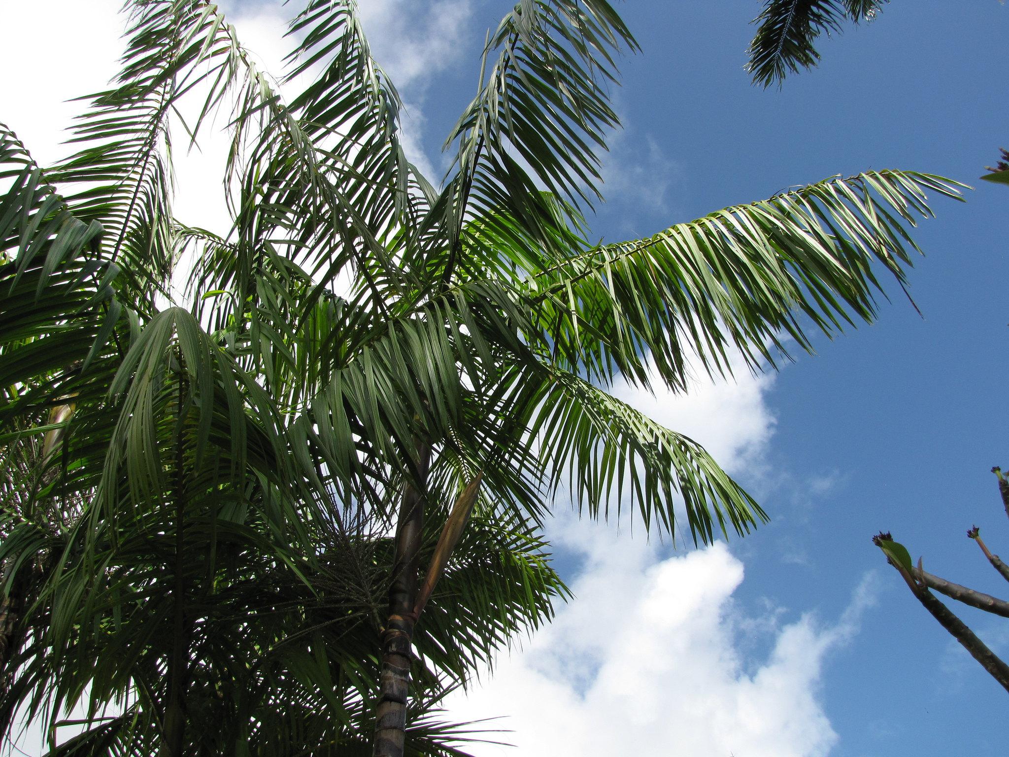 La Euterpe oleracea es una palmera tropical
