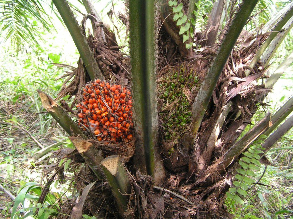 La palmera africana produce frutos comestibles