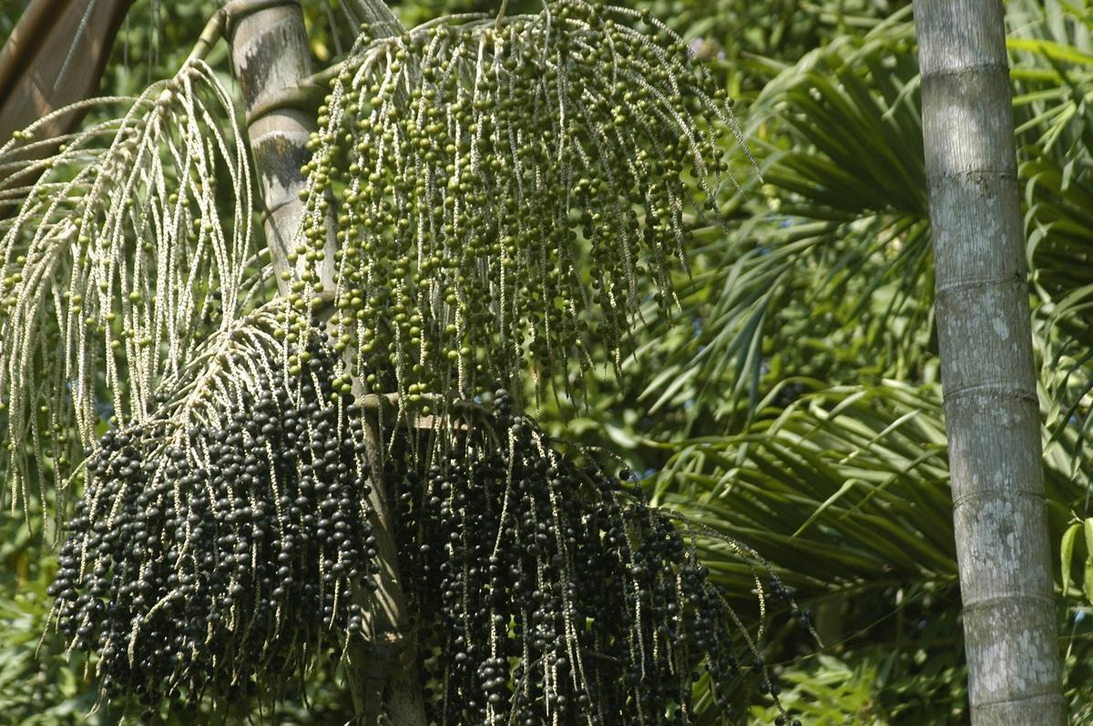Vista de los frutos de la Euterpe oleracea