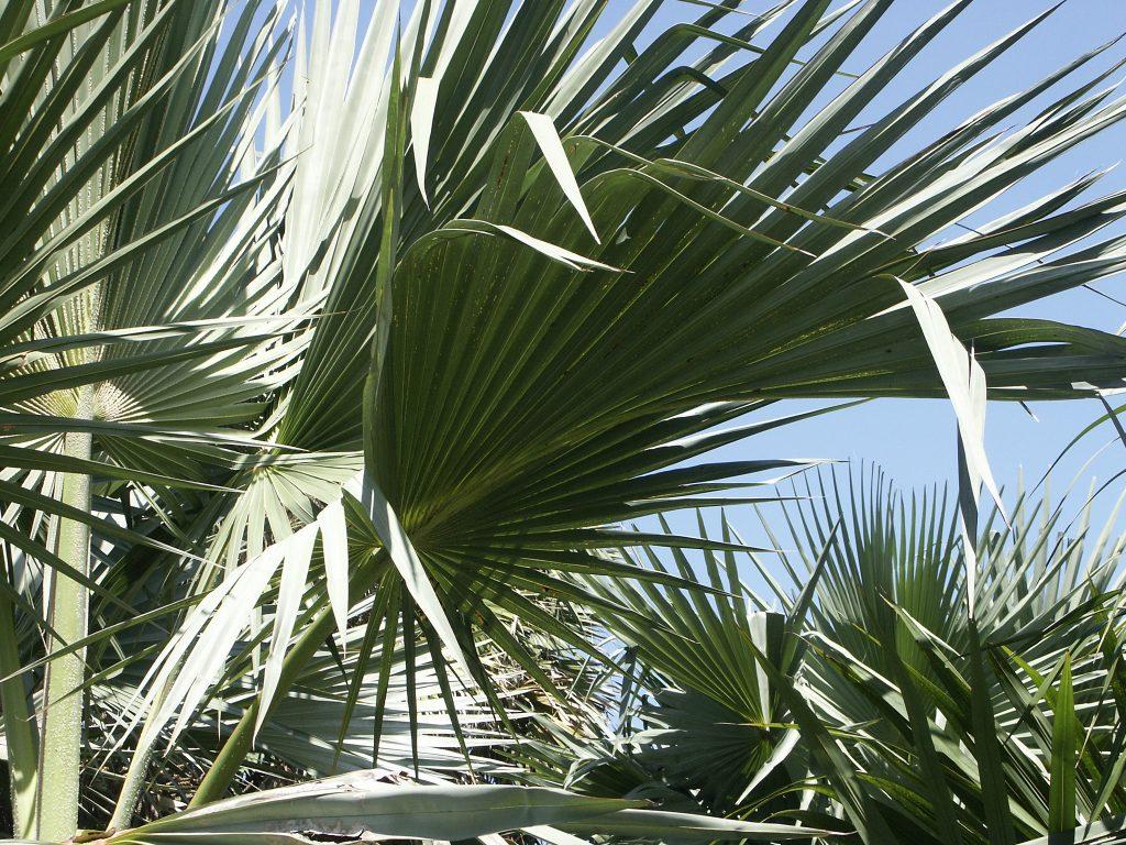 Las Latania son palmeras de jardín estupendas