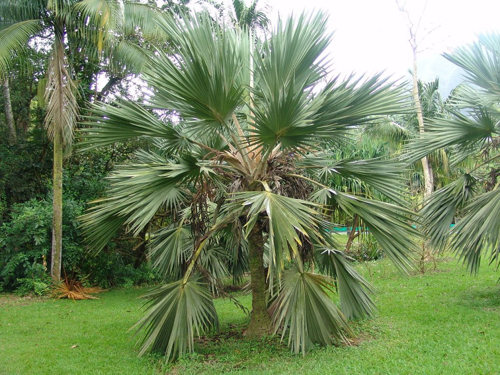 La Latania azul es una palmera tropical