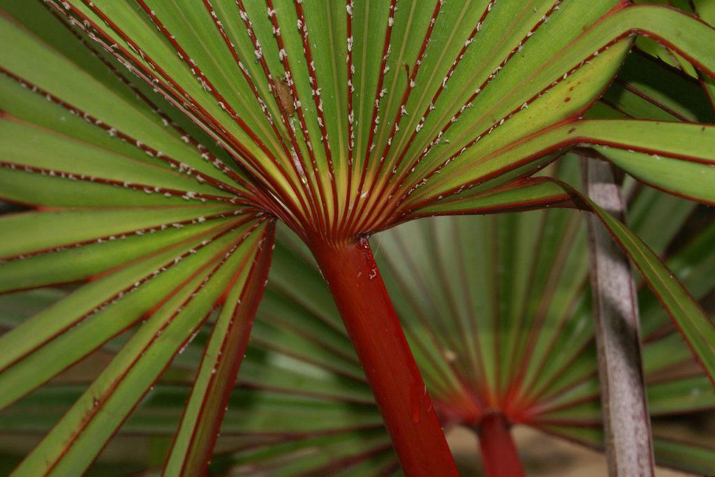 Las Latania son palmeras tropicales