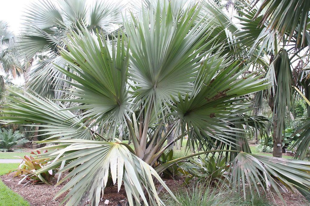 La Latania verschaffeltii es una palmera con hojas verdes y cera