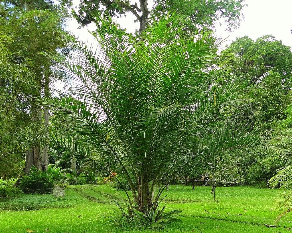 La palma africana es una planta tropical