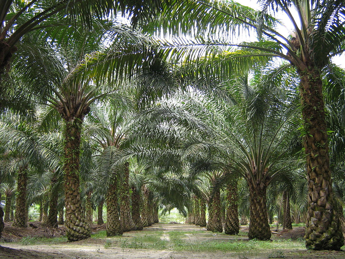 La palmera aceitera tiene varios usos