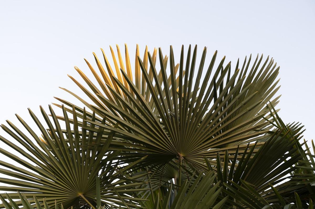 Las palmeras son plantas que pueden caer enfermas