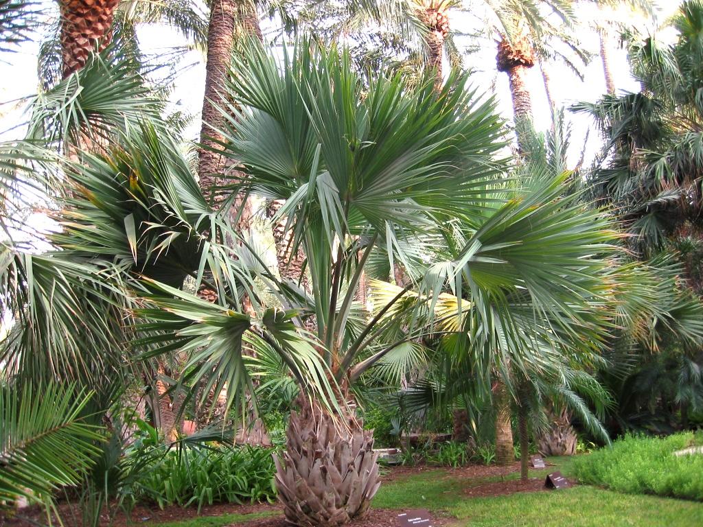 El Sabal maritima es una palmera de hojas verdes