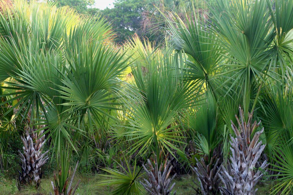 El Sabal mexicana es una palmera originaria de México