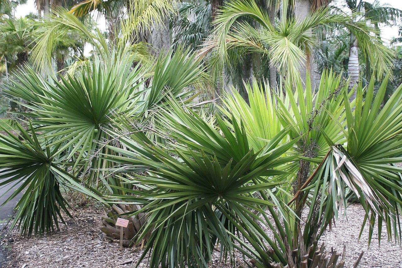 El género Sabal está compuesto por palmeras de lento crecimiento