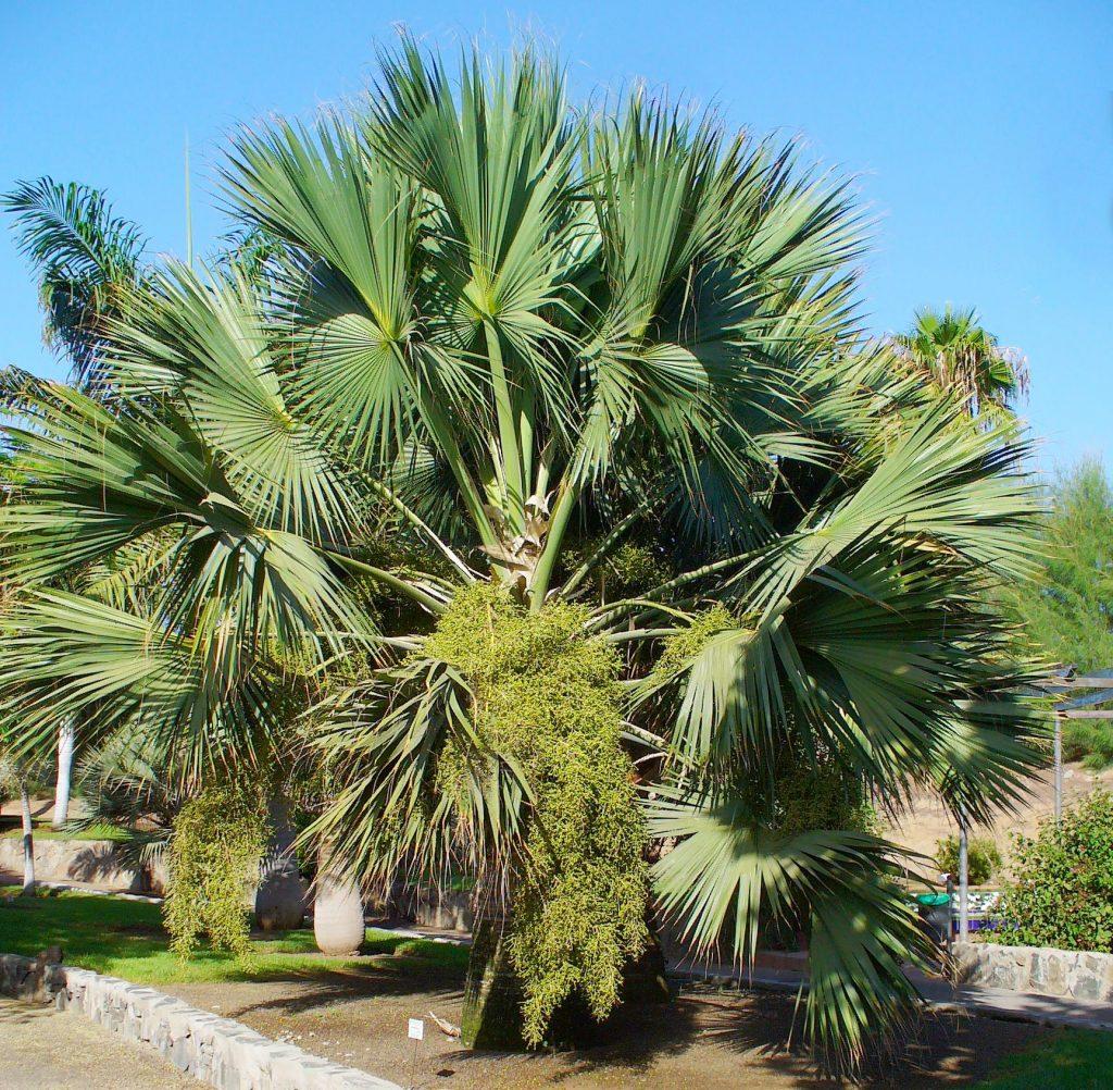 El Sabal palmetto es una palmera de lento crecimiento