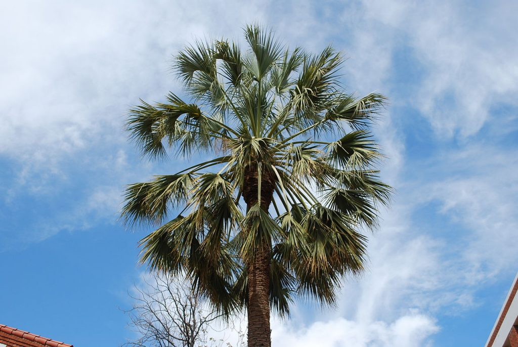 El Sabal uresana es una palmera de hoja costapalmada