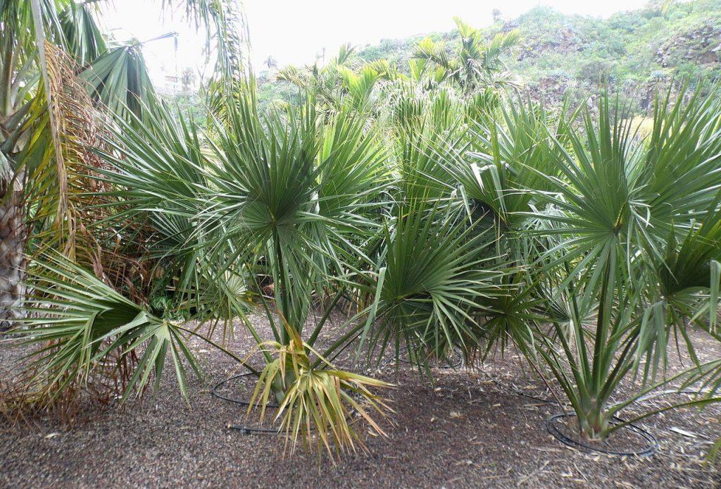 El Sabal yapa es una palmera pequeña
