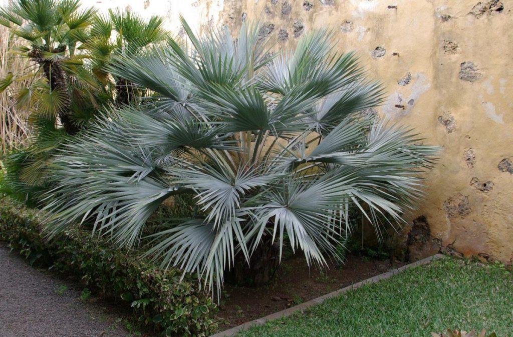 La Brahea armata es una palmera de jardín de un solo tallo