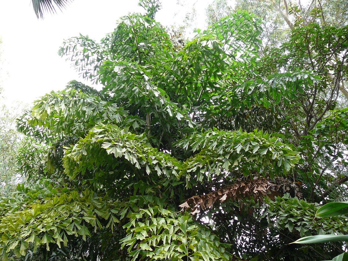 La Caryota urens es una palmera monocárpica