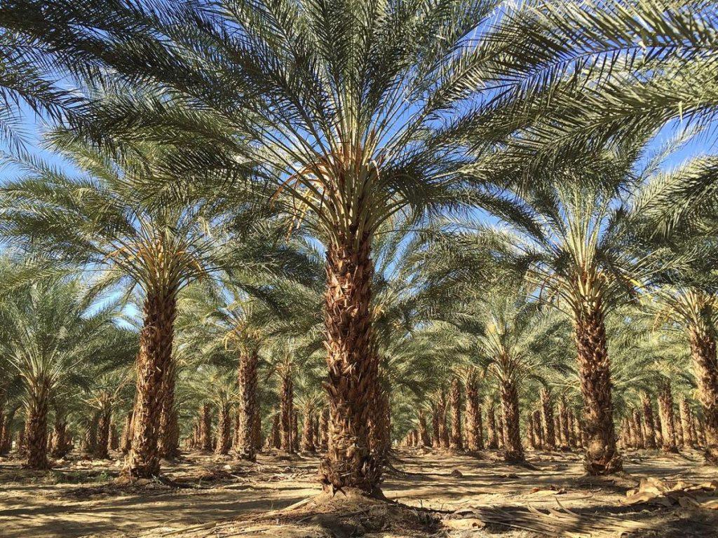 La datilera es una palmera que puede ser multicaule
