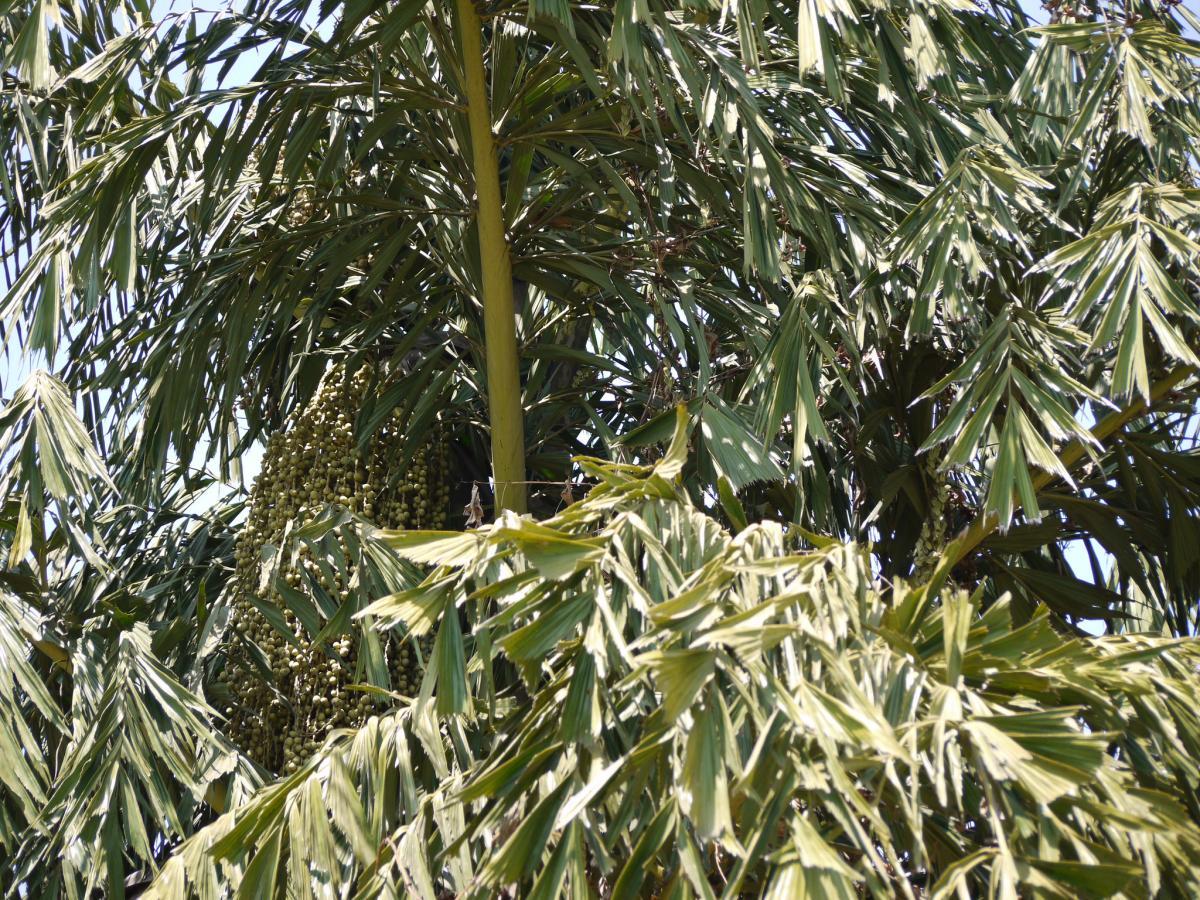 Las hojas de la Caryota urens son bipinnadas