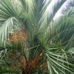Las hojas de la Phoenix loureroi son pinnadas