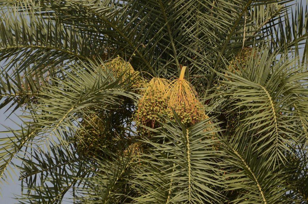 La Phoenix sylvestris tiene un solo tronco