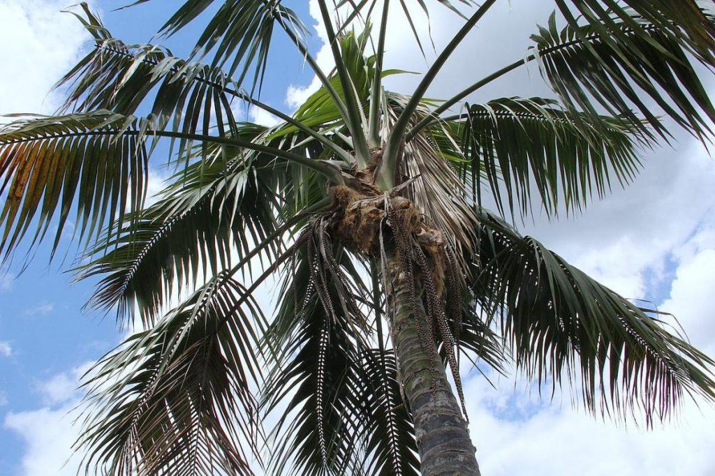 La kentia es una preciosa palmera de jardín