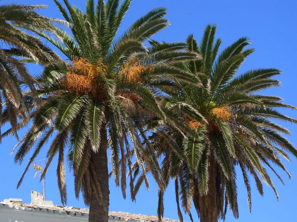 La palmera canaria es una bonita palmera de jardín