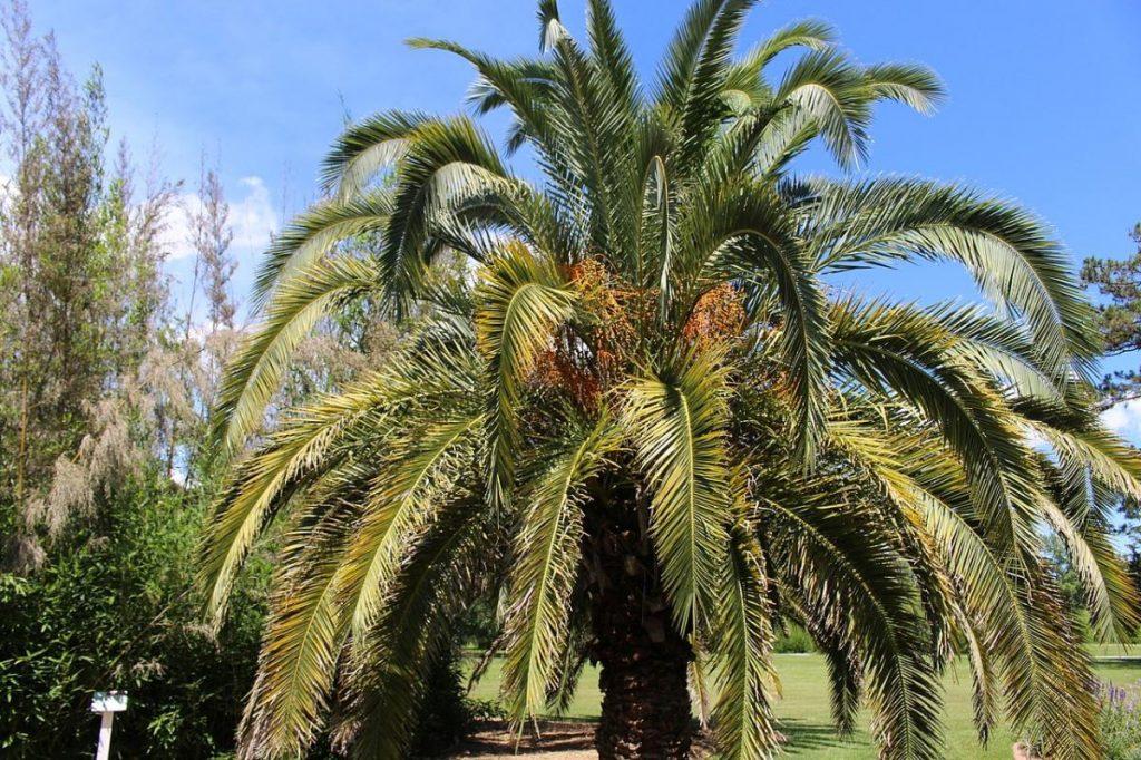 La palmera canaria es una planta de jardín estupenda