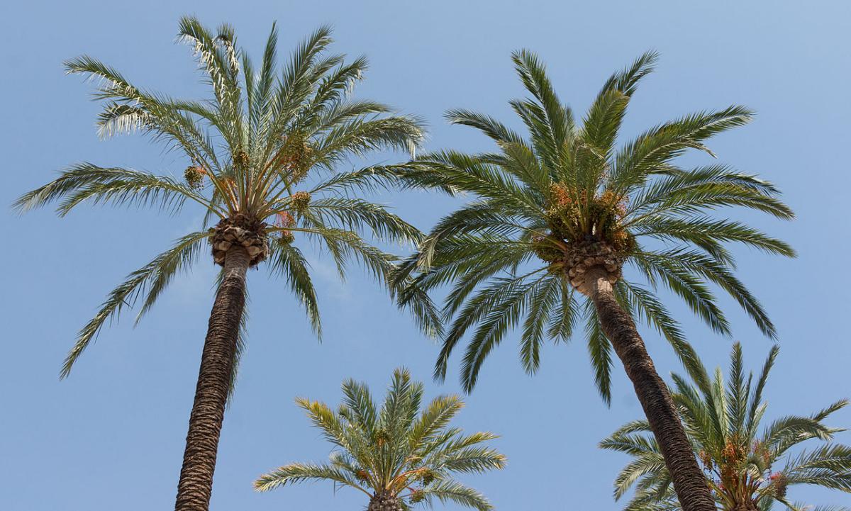 Las palmeras Phoenix tienen espinas