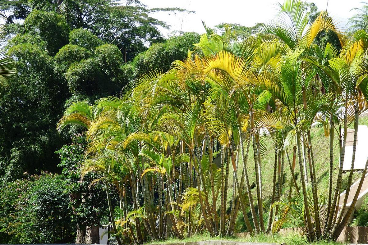 La Dypsis lutescens es una palmera conocida como areca