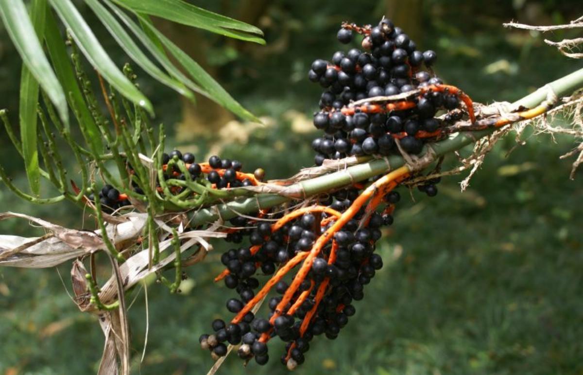 Vista de los frutos de la Chamaedorea seifrizii